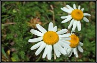 Chamomile - from irishwildflowers.ie